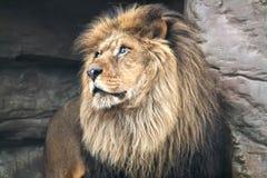 ζωικό λιοντάρι που φαίνεται άγρια περιοχές θηραμάτων Στοκ Φωτογραφίες