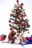 Ζωικό κατοικίδιο ζώο σκυλιών Χριστουγέννων Χριστουγέννων Όμορφο φιλικό αλαζόνας σκυλί σπανιέλ Charles βασιλιάδων Καθαρής φυλής κυ Στοκ εικόνες με δικαίωμα ελεύθερης χρήσης