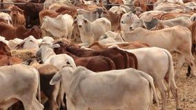 Ζωικό κεφάλαιο αγελάδων βοοειδών στις μάνδρες ναυπηγείων πώλησης - τηγάνι απόθεμα βίντεο