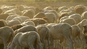 Ζωικό κεφάλαιο, πρόβατα βοοειδών που περπατά και που βόσκει στο ηλιοβασίλεμα απόθεμα βίντεο