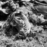 Ζωικό κρανίο που βρίσκεται στη χλόη Στοκ Εικόνες