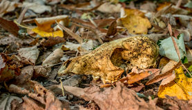 Ζωικό κρανίο στα φύλλα φθινοπώρου Στοκ φωτογραφία με δικαίωμα ελεύθερης χρήσης