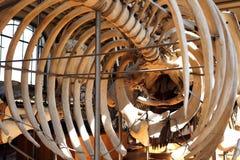 Ζωικό μουσείο Παρίσι φυσικής ιστορίας σκελετών Στοκ φωτογραφίες με δικαίωμα ελεύθερης χρήσης
