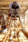 Ζωικό μουσείο Παρίσι φυσικής ιστορίας σκελετών Στοκ εικόνες με δικαίωμα ελεύθερης χρήσης