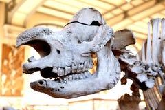 Ζωικό μουσείο Παρίσι φυσικής ιστορίας σκελετών Στοκ εικόνα με δικαίωμα ελεύθερης χρήσης