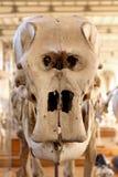 Ζωικό μουσείο Παρίσι φυσικής ιστορίας σκελετών Στοκ Εικόνες