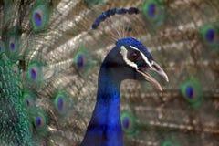 ζωικό μπλε ινδικό pavo cristatus peafowl Στοκ Φωτογραφίες