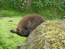 Ζωικό μωρό καγκουρό στοκ φωτογραφία