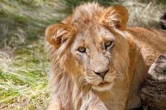 Ζωικό νέο λιοντάρι που βρίσκεται στη χλόη Στοκ Εικόνα