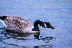 Ζωικό πέταγμα λιμνών παπιών nemo ματιών πουλιών Στοκ φωτογραφίες με δικαίωμα ελεύθερης χρήσης