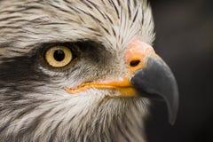 Ζωικό πορτρέτο πουλιών αετών Στοκ Φωτογραφίες