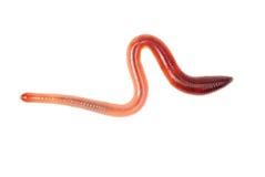 Ζωικό σκουλήκι που απομονώνεται γήινο στο λευκό Στοκ φωτογραφία με δικαίωμα ελεύθερης χρήσης