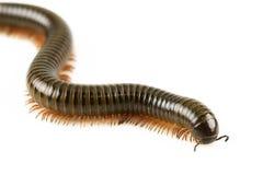Ζωικό millipede που απομονώνεται στο άσπρο υπόβαθρο και την κενή περιοχή για το κείμενο, έννοια φύσης Στοκ φωτογραφίες με δικαίωμα ελεύθερης χρήσης