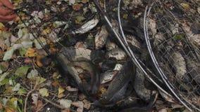 Ζωντανά ψάρια σε ένα απλάδι απόθεμα βίντεο
