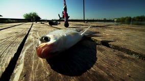 Ζωντανά ψάρια στην ακτή Σύλληψη πρωινού Αναπνέει τα βράγχια φιλμ μικρού μήκους