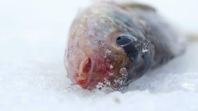 Ζωντανός αλιεία στον πάγο Κινήστε τα βράγχια και το στόμα Κινηματογράφηση σε πρώτο πλάνο φιλμ μικρού μήκους