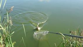 Ζωντανός κυπρίνος που πιάνεται από τη λίμνη στο δίκτυο το καλοκαίρι στον ηλιόλουστο καιρό απόθεμα βίντεο