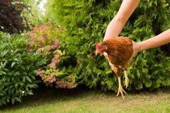 Ζωντανό κοτόπουλο υπό εξέταση Στοκ Εικόνες