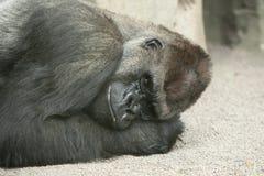 ζωολογικός κήπος γορίλ& Στοκ εικόνα με δικαίωμα ελεύθερης χρήσης