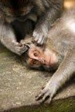 ζωολογικός κήπος πιθήκων της οικογενειακής Ινδονησίας του Μπαλί στοκ εικόνα