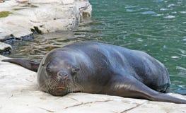 ζωολογικός κήπος σφραγ Στοκ εικόνες με δικαίωμα ελεύθερης χρήσης