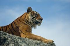 ζωολογικός κήπος τιγρών &n στοκ εικόνες