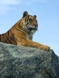 ζωολογικός κήπος τιγρών &n στοκ φωτογραφίες με δικαίωμα ελεύθερης χρήσης