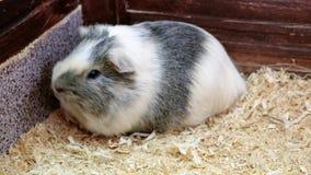 Ζωολογικός κήπος Cavy σε επαφή Κατοικίδια ζώα στο σπίτι φιλμ μικρού μήκους