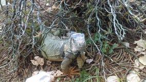 ζωολογικός κήπος iguana στοκ εικόνες με δικαίωμα ελεύθερης χρήσης