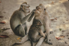 ζωολογικός κήπος πιθήκων της οικογενειακής Ινδονησίας του Μπαλί Στοκ φωτογραφία με δικαίωμα ελεύθερης χρήσης