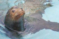ζωολογικός κήπος σφραγ Στοκ Εικόνες