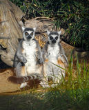 Ζωολογικός κήπος Τακόμα περιφρόνησης σημείου Meerkats Στοκ φωτογραφίες με δικαίωμα ελεύθερης χρήσης