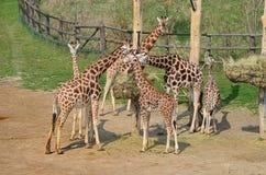 Ζωολογικός κήπος της Πράγας, giraffes Στοκ εικόνες με δικαίωμα ελεύθερης χρήσης