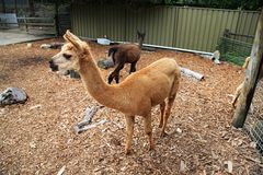 Ζωολογικός κήπος τιγρών προβατοκαμήλου @ στοκ εικόνες