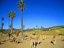 Ζωολογικός κήπος του Σαν Ντιέγκο, άνθρωποι και giraffe, τουρισμός Στοκ Εικόνες
