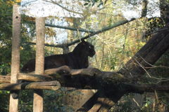 Ζωολογικός κήπος Amneville: ένας μαύρος πάνθηρας Στοκ Φωτογραφίες