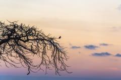 Ζωσμένη αλκυόνη - Megaceryle alcyon στο ηλιοβασίλεμα στο Λα Boca Στοκ Εικόνες