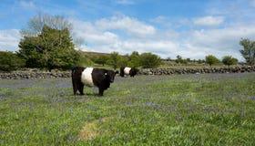 Ζωσμένη galloway αγελάδα. Στοκ εικόνες με δικαίωμα ελεύθερης χρήσης
