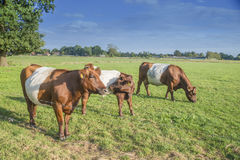Ζωσμένοι αγελάδα και μόσχος Lakenvelder Στοκ φωτογραφίες με δικαίωμα ελεύθερης χρήσης
