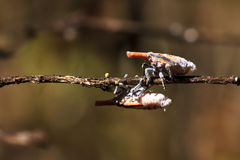 Ζωύφια φαναριών της Μαδαγασκάρης Στοκ Εικόνα