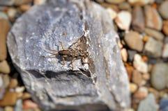 Ζωύφιο - μύγα caddis προνυμφών (Plecoptera) Στοκ Εικόνες