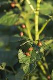 Ζωύφιο Caterpillar πατατών στοκ φωτογραφίες με δικαίωμα ελεύθερης χρήσης
