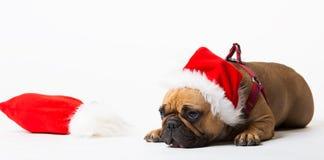 Ζώα Ένα μπεζ λευκό μπουλντόγκ σκυλιών γαλλικό που απομονώνεται, Χριστούγεννα Στοκ Εικόνα
