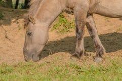 Ζώα αγροκτημάτων - άλογο Konik Στοκ Φωτογραφία