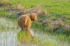 Ζώα αγροκτημάτων - βοοειδή ορεινών περιοχών Στοκ εικόνες με δικαίωμα ελεύθερης χρήσης