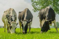 Ζώα αγροκτημάτων - γαλακτοκομικά βοοειδή Στοκ φωτογραφία με δικαίωμα ελεύθερης χρήσης