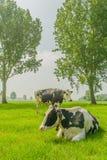 Ζώα αγροκτημάτων - γαλακτοκομικά βοοειδή Στοκ εικόνες με δικαίωμα ελεύθερης χρήσης