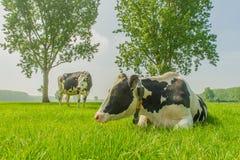 Ζώα αγροκτημάτων - γαλακτοκομικά βοοειδή Στοκ εικόνα με δικαίωμα ελεύθερης χρήσης