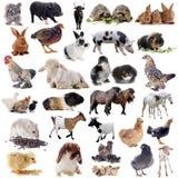 Ζώα αγροκτημάτων Στοκ Εικόνες