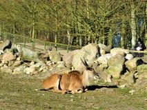 Ζώα αντιλοπών Άγρια φύση στο σαφάρι Στοκ Εικόνες